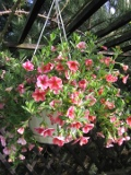 petunia million bells, zdj�cia ro�lin