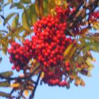 Mountain Ash, Rowan
